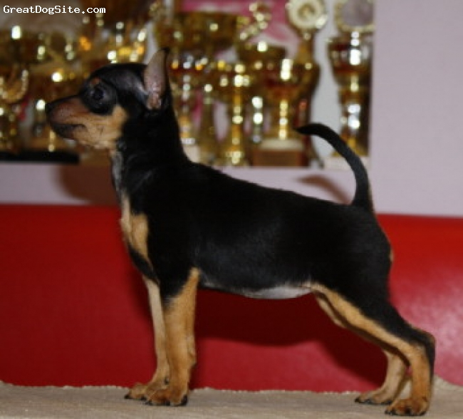 Russian Toy Terrier, 1, red, Papies for sale