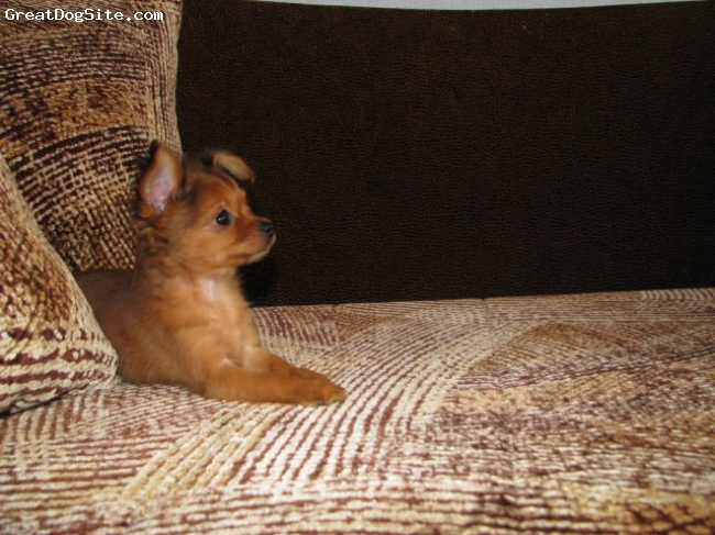 Russian Toy Terrier, 4 month, red, The puppy long-haired Russian toy terrier is on sale. A family tree.  All inoculations are made.The chip is put.