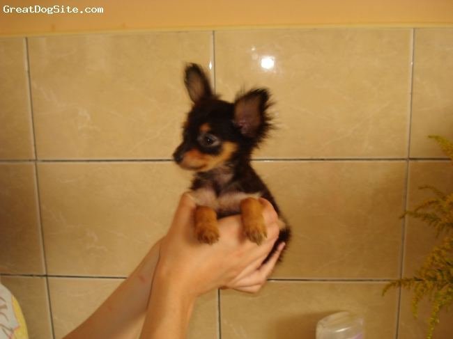 Russian Toy Terrier, 6 months, red, kennel russian toy  KONFETI