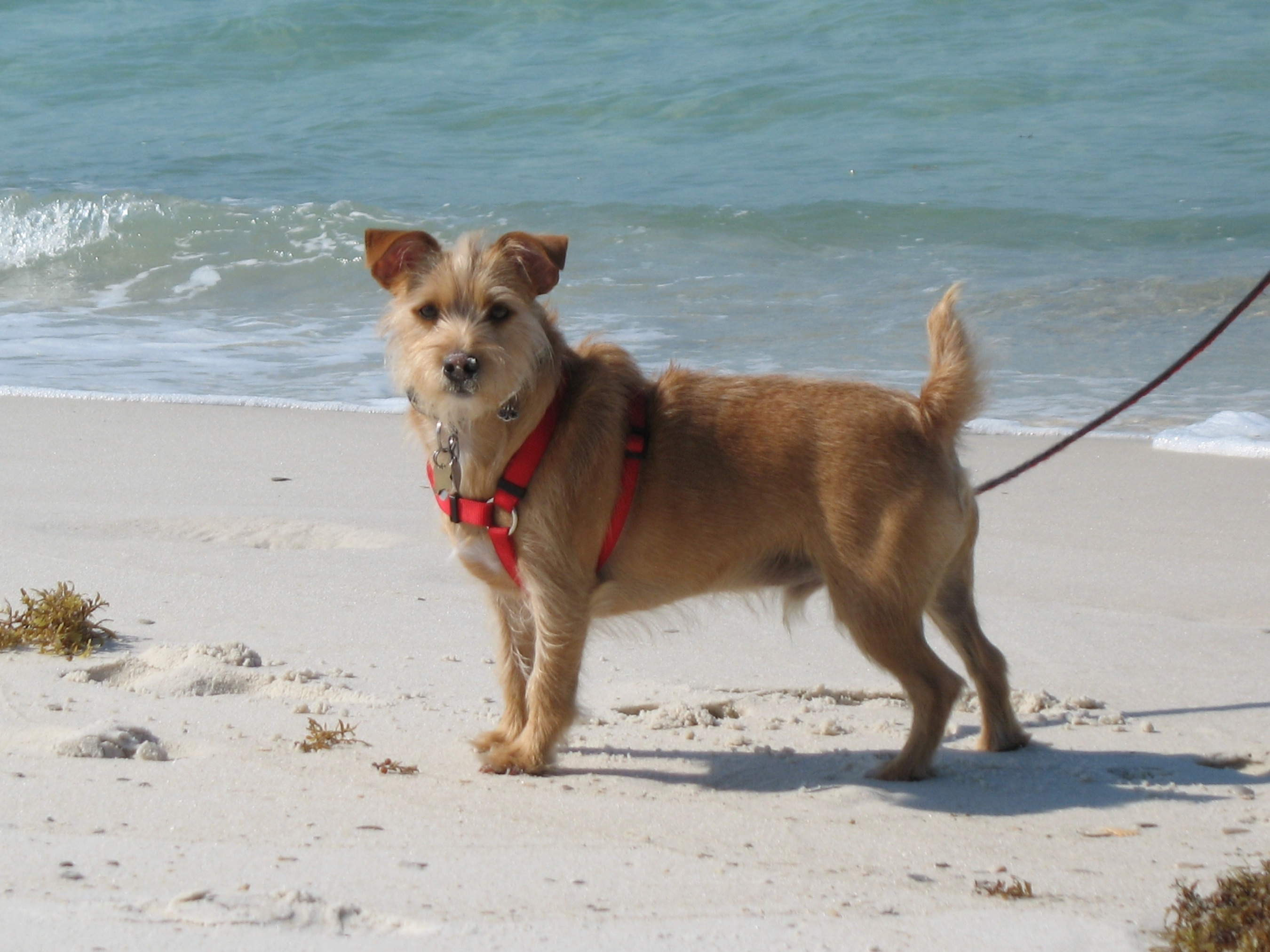 Rustralian Terrier Question and Answer Rustralian Terrier Photos ...
