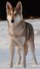 Saarlooswolfhond, 2, grey