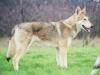 Saarlooswolfhond, 2, wolfsgrey