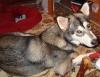 Saarlooswolfhond, 1, wolf gray