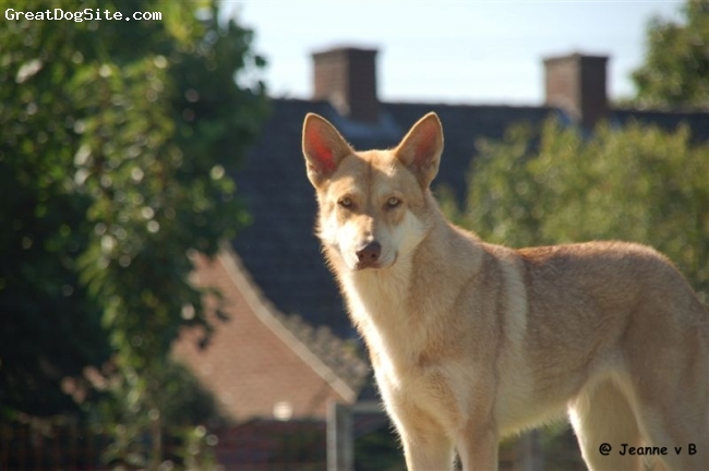 Saarlooswolfhond, 2, forest brown,  Breeder try ones a year to breed