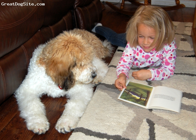Saint Berdoodle, 4 months, White, light broun and black, Zoey (50 lbs, 4.5 months) enjoying a story with her favorite kid
