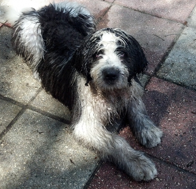 Saint Berdoodle, 11 weeks, Black/white, Fun to be had in the water and mud!