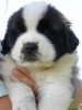 Saint Bernard, 4 weeks old, dark black mask, brown white