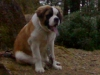 Saint Bernard, 6 months, orange white