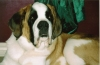 Saint Bernard, 3  years old, Brown black and white