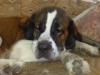 Saint Bernard, 2 years 6 months, brownand black mix and white.........