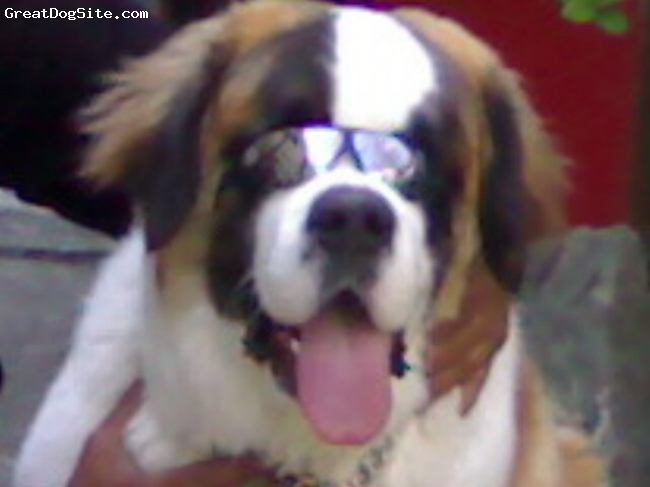 Saint Bernard, 12 months, Orange white, Rambo in his sunglasses