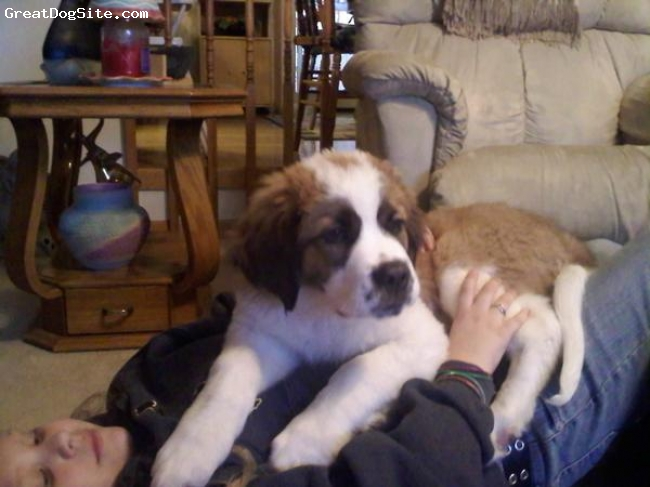 Saint Bernard, 12wks., red an white, gotta hold her while we can