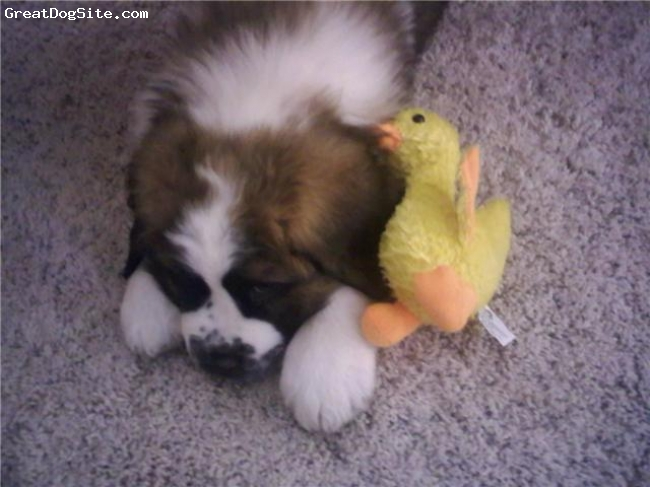 Saint Bernard, 2.5 months, Tri-Colored, This duck has kicked my bum! He just won't give up. Awww, Im tired now.