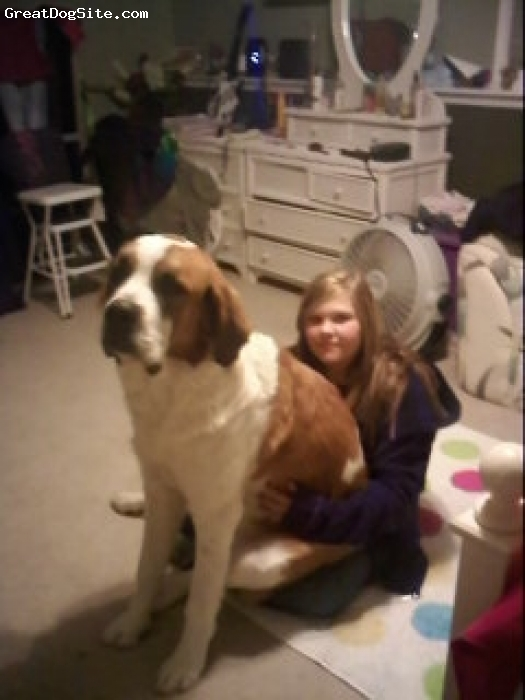 Saint Bernard, 14 mo., red white, i guess we can still hold her