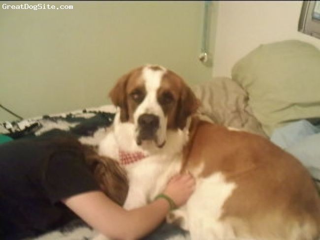 Saint Bernard, 14 mo., red an white, nana