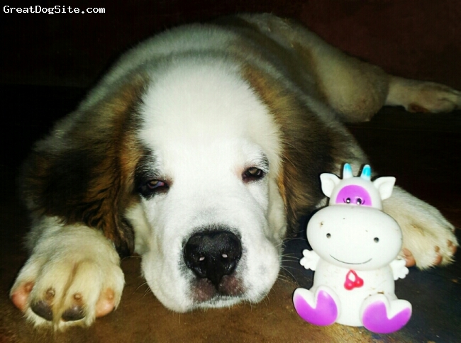 Saint Bernard, 2 month, white gray, hi,im aditya panda from-india,state-odisha,dist-koraput,at-kumuli.cont- +918895552234.this is my cute ryno.this photo was taken at my home in the night