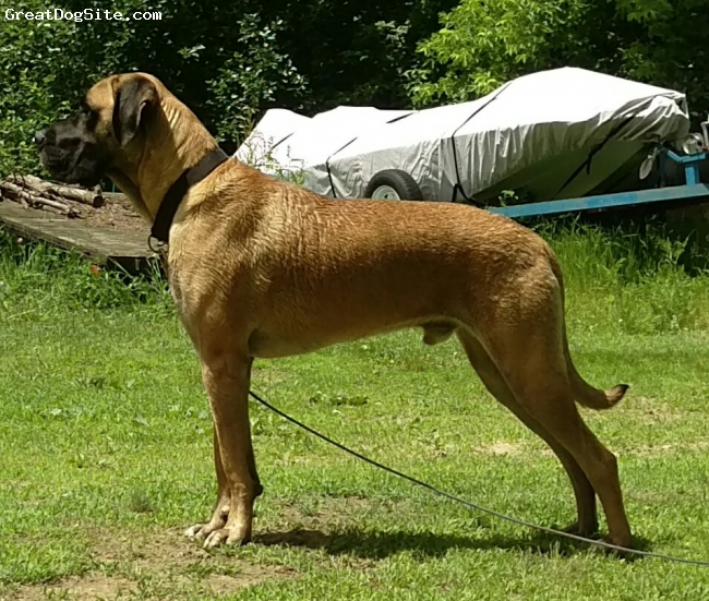 Saint Dane, 18 monthse, fawn black, Male.  Father great Dane. Mother st Bernard