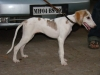 Saluki, 5 Months, White with brown marking