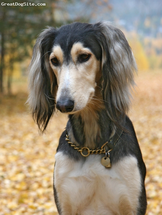 Saluki, 2 years, grizzle, autumn portrait