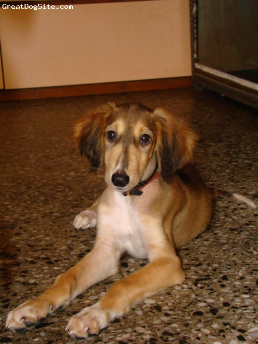 Saluki, 5 Months, grizzle, very naughty.