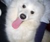 Samoyed, 2, White