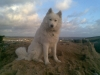 Samoyed, 1, white