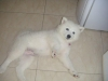 Samoyed, 3 months, white