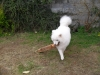 Samoyed, 16 months, white