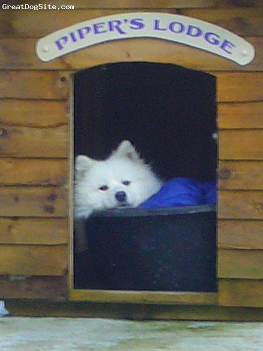 Samoyed, 2, White, Playful. Mischievous, loving, craves attention, digger, chewer, very vocal