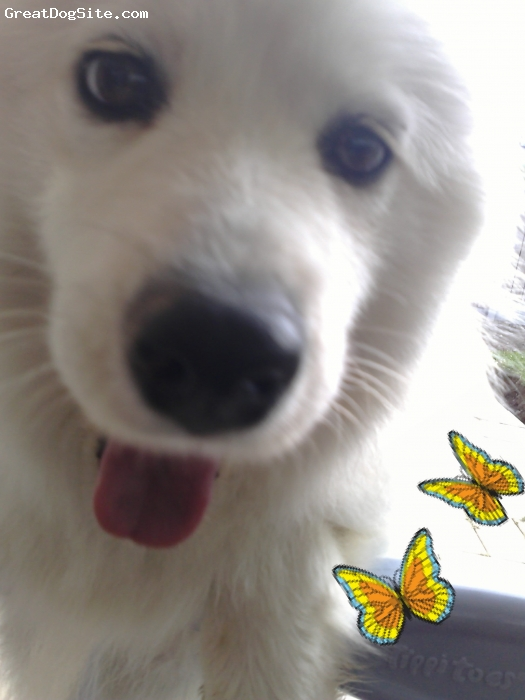 Samoyed, 2, White, Lovable. Attention Seeking. Vocal yappy. Loves playing, Digging, Chewing, Yapping a little more!