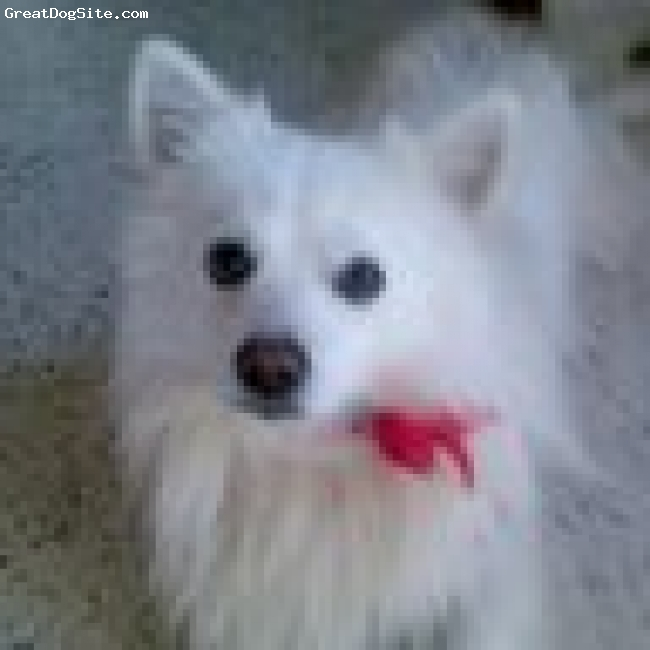 Samoyed, 4+, White, He is undersexed, he is very naughty, playful. I love him.