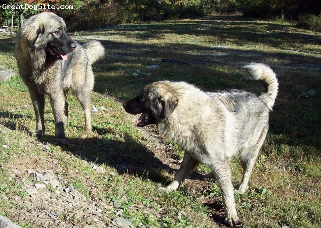 Sarplaninac, 9 months, gray, Nada & Vera, two young females playing