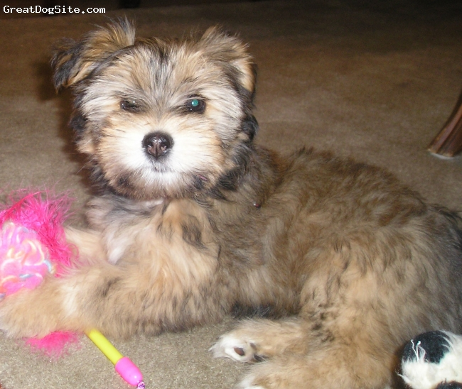 Schapso, 3 months, Brown, A sweet bundle of energy! Loves, loves, loves people.