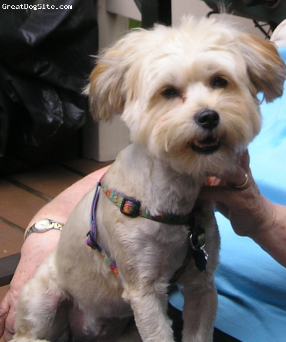 "Schapso, 11 months, tan, The ""Schapso"", a cross of Lhasa Apso and Mini Schnauzer is a wonderful dog!  Mazie loves people and has a very sweet disposition. She loves her walks and playing fetch. Mazie isn't too large in size which makes it easy to take her on many car rides in her very own car seat!"