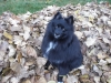 Schip-a-pom, one year, black with some white