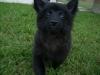 Schip-a-pom, 4 months, Black