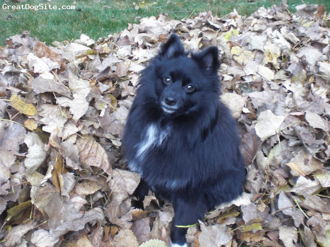 Schip-a-pom, one year, black with some white, Luci helping rake leaves!!