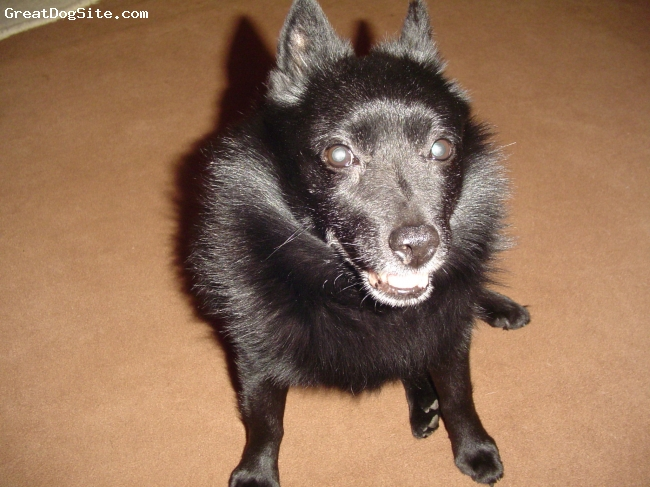 Schipperke, 10, Black, Pip is very affectionate and lovable. He's also very stubborn!