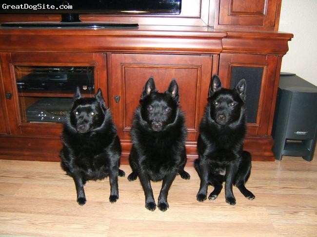 Schipperke, 3, 4, 2, Black, Waiting patiently.