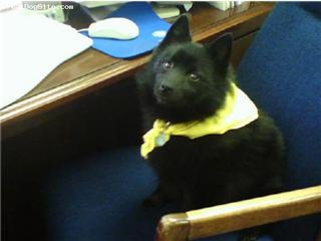 Schipperke, 8, black, Sami job is a therapy dog.