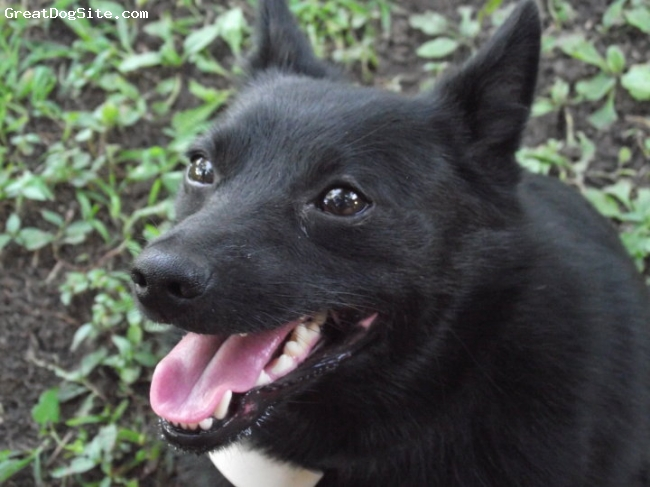 Schipperke, 3, Black, Close up.