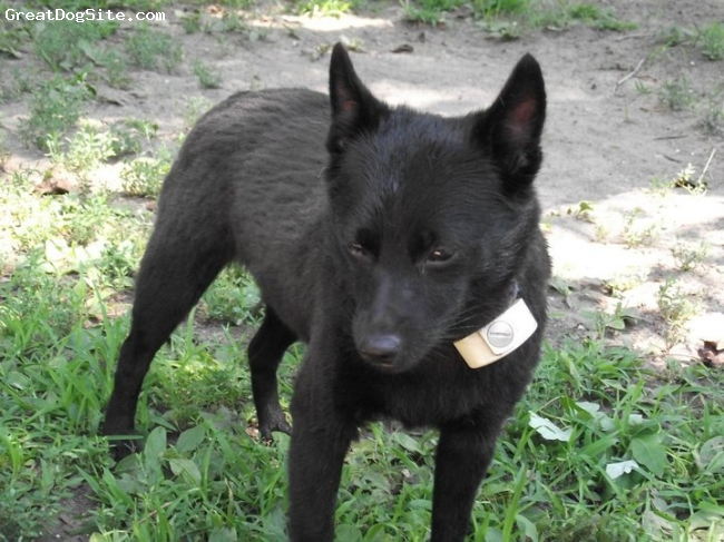 Schipperke, 3, Black, So happy. Also, this is a perimeter collar that only beeps.