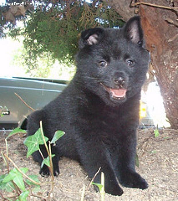 Schipperke, 12 weeks, Black, Yogi in the bush