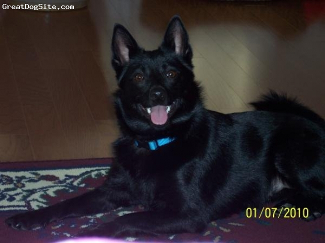 Schipperke, 1, Black, Izzy is a very active little bundle of joy.  She loves to jump and run.  She gets sad when my kids leave her for any amount of time.  She is the best dog ever.