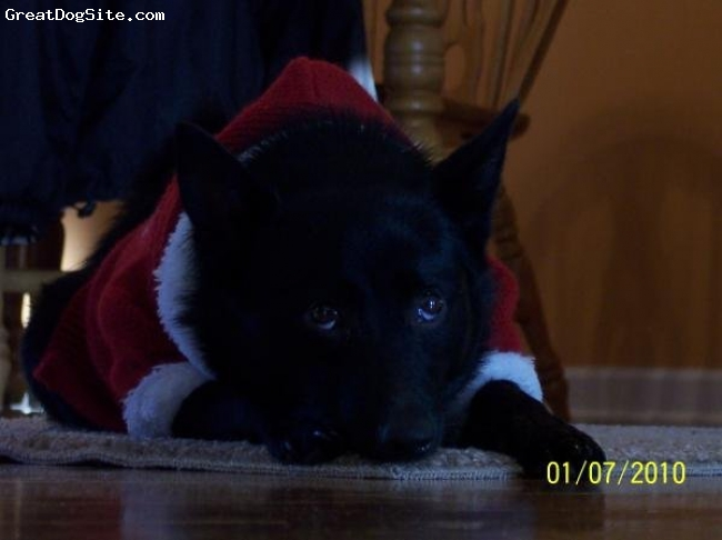 Schipperke, 1, Black, Another photo of Izzy.