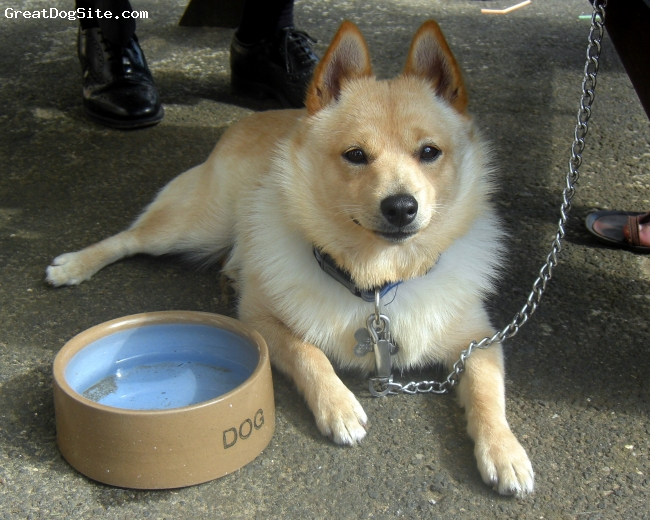 Schipperke, 13 months, Golden, Benny is a fabulous little chap, full of fun and very gentle and kind.  