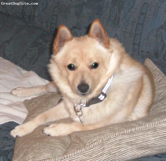 Schipperke, 13 months, Golden, A wonderful Golden Schipperke.   He is such a sweetie.