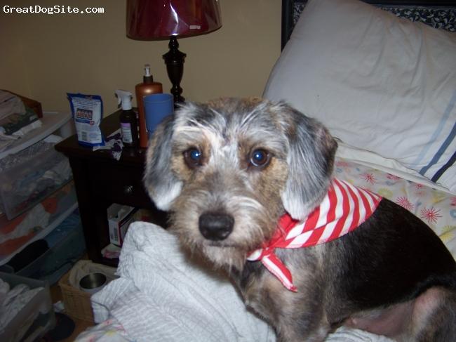 Schneagle, 1 year old, Grey/black, Smart dog!