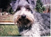 Schnoodle, Not Specified, gray