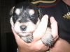 Schnoodle, 2weeks old, black and tan
